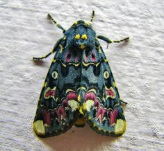 Lilly moth Besides Lady Bugs, I think Moths are the only insects I'll ever find pretty! Beautiful Creatures, Animals Beautiful, Cute Animals, Beautiful Bugs, Beautiful Butterflies, Gorgeous Gorgeous, Absolutely Stunning, Simply Beautiful, Beautiful Flowers