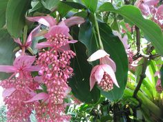 Medinilla Magnifica, Aka the Malaysian Orchid, the Pink Lantern and the Rose Grape