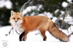 Fox In Mid-Step by Megan Lorenz on 500px