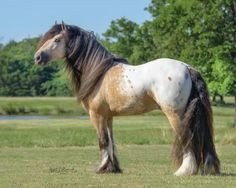 Bandera Gypsy Ranch - Rockytop Most Beautiful Horses, All The Pretty Horses, Horse Pictures, Animal Pictures, Horse Markings, Gypsy Horse, Funny Horses, Draft Horses, Horse Photography