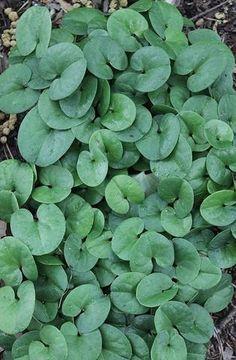 Asarum virginicum 'Reb's Child'|Juniper Level Botanic Gdn, NC|
