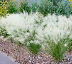 Cottage Farms 5-Piece White Cloud Muhly Grass
