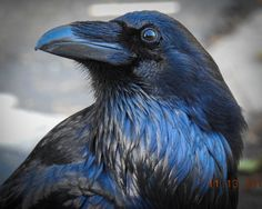 Raven Landscape Photography, Professional Photographer, Landscape Photographer - moorpark, CA Raven Photography, Best Landscape Photography, Landscape Photographers, Animal Photography, Photography Tips, Portrait Photography, Crow Art, Bird Art, Beautiful Birds