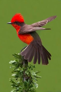Vermilion Flycatcher Bird