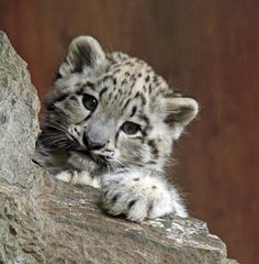 Snow leopard cub Baby Snow Leopard, Leopard Cub, Cute Baby Animals, Animals And Pets, Funny Animals, Wild Animals, Big Cats, Cats And Kittens, Cute Cats