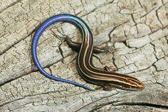 Five-lined Skink (Juvenile) by kaptainkory, via Flickr