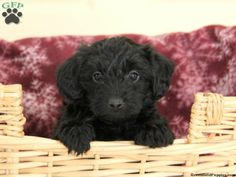 Peter, Yorkie Poo puppy for sale in Atglen, Pa Yorkie Poo Puppies, Puppies For Sale, Small Dogs, Cute Animals, Pretty Animals, Little Dogs, Cutest Animals, Cute Funny Animals, Pug Dogs