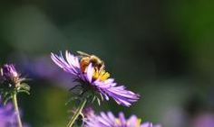 New England Aster; photo by Joshua Mayer at Flickr.com
