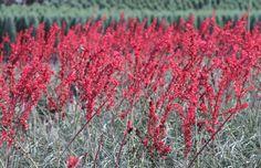 Brakelights Red Yucca