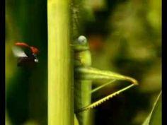 Minuscule Catapult grasshopper.mkv