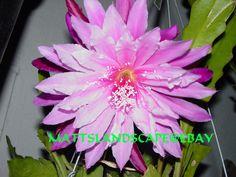 Epiphyllum hybrid 'Venetian Affair'