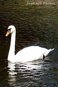 Swan ~~ http://jaykaysphotos.ca