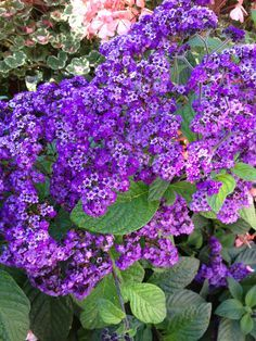 Heliotrope, now this loves the weather in the Pacific Northwest, and it smells so good - just don't buy the short varieties, you get more flowers and cuttings stems out of the old fashioned tall ones. Liked by: Eden, Maegan
