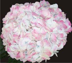 Jumbo Bicolor Hydrangea
