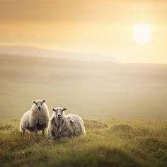 #sheep #sunset #nature #landscape #iceland #motheranddaughter
