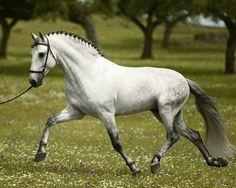 PRE, Andalusian, stallion, Guardadamos. A beautiful boy.