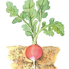 Radish Growing instructions from Sunset Magazine