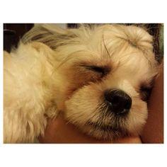 Zzz... Luna #shihtzu #dog #family #philippines #シーズー #犬 #フィリピン