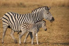 zebra - Google Search