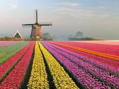 tulips garden care Tulip fields of Holland: The Netherlands Tulip Fields Netherlands, Amsterdam Netherlands, The Netherlands, Tulips Holland, Amsterdam Tulips, Tulip Garden Amsterdam, Dutch Tulip, Tulips Garden, Reisen In Europa