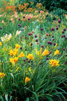 "Lesson #2: Embrace high-contrast combos.  While citrus-hued daylilies are already pretty splashy on their own, the Moores bucked conventional wisdom by pairing them with alliums in equally assertive but seemingly contradictory shades of purple — to brilliant result. As Joyce says, ""Color is particularly important where you don't have structure."""