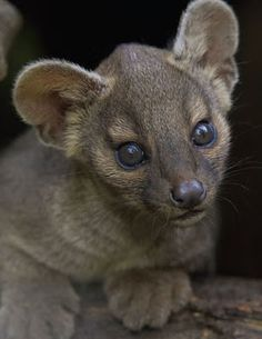 FOSSA are.....found only in the tropical rainforests of the Madagascar....measuring 27 to 31 inches  long with 26 to 31 inch tail.....weighing 13 to 19 pounds.....the largest predator on the island.....50% of its diet is composed of lemurs.....can run 35 miles per hour....less than 2500 animals are left in the wild