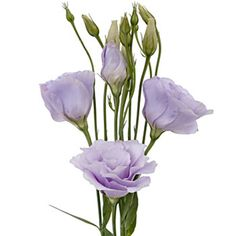 Meet the Flowers: Lisianthus