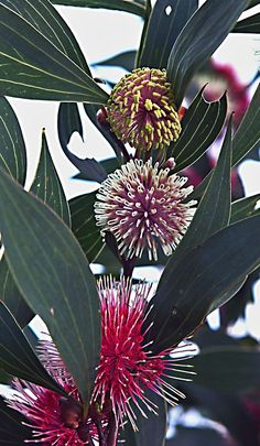 One of my favourite Aussie plants Hakea laurina. Such beautiful flowers Australian Native Garden, Australian Native Flowers, Australian Plants, Unusual Flowers, Rare Flowers, Amazing Flowers, Purple Flowers, Wild Flowers, Unusual Plants