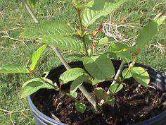 Kratom Plant http://EthnoDirect.com Kratom Plant Kratom Mitragyna Speciosa Kratom Plant Kratom Mitragyna Speciosa http://ctplr.tumblr.com/post/142466198154