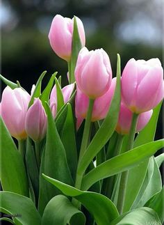 Pretty In Pink - Tulips Pink Tulips, Tulips Flowers, Flowers Nature, Exotic Flowers, Amazing Flowers, Beautiful Roses, Pretty Flowers, Fresh Flowers, Spring Flowers