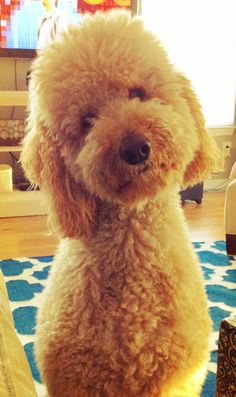 HOW CAN YOU SAY NO TO ME?! #Labradoodle    Goldern Labradoodles are even CUTER!    Mooooooom! @MaryEllen McCarthy