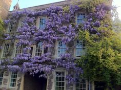Proper wisteria... I & J Bannerman - Garden designers and builders