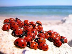 March of the lady bugs Lady Bug, She's A Lady, Lady In Red, Lucky Ladies, Bugs And Insects, Love Bugs, Beautiful Creatures, Animal Kingdom, Insects