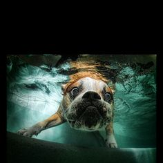 Photographer Seth Casteel spent hours underwater in Los Angeles taking pictures of dogs chasing balls. Here, a bulldog explores underwater. LOL Looks like rambo! Dog Photos, Dog Pictures, Animal Pictures, Funniest Pictures, Funny Pictures, Wall Photos, Hilarious Photos, Dogs Underwater, Underwater Photography