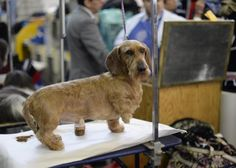 A long-haired Dachshund arrives at the benching area at the annual Westminster Kennel Club Dog Show February 10, 2014.