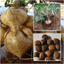 Yam bean zaden, zeer zoete groente-en planten, hoge opbrengst zoete aardappel zaden, groente heerlijke en 20 deeltje/bag(China (Mainland))