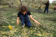 Was für ein Schatz - Olivenernte auf Korfu