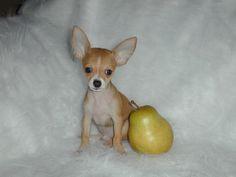 Types of Chihuahua Dog Mixes Breeds