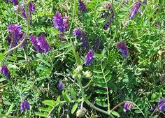 Vicia villosa - Wikipedia, the free encyclopedia