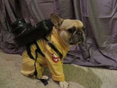 Roxy, the French Bulldog in Ghostbusters Costume.