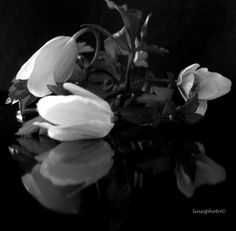 Hvitveis. Black And White Roses, Most Beautiful Flowers, Plants, Pictures, Painting, Art, Photos, Painting Art, Flora