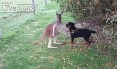 Kangaroo and Rottweiler become friends - Imgur