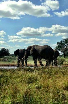 Elephants - Satara KNP