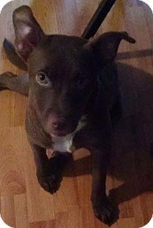 Louisville, KY - Labrador Retriever Mix. Meet Alexis- URGENT! located in NY, a dog for adoption. http://www.adoptapet.com/pet/15426306-louisville-kentucky-labrador-retriever-mix