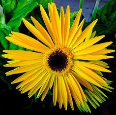 FLOWERS MACRO  | Photos by Stan: Daisy [Macro Flowers Saturday]