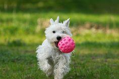 ¿Cuántos de vosotros os habéis cansado de intentar que vuestro perro os devuelva la pelota cuando se la lanzáis? Aquí tenéis la solución ;)