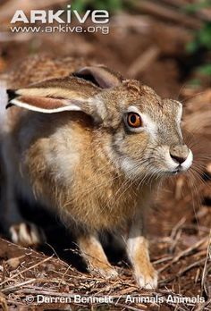 White-tailed jackrabbit head detail and frontal close up