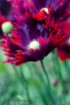 Poppy 'Burgundy Frills' so pretty! I love poppies these would add nice color to the garden Amazing Flowers, My Flower, Colorful Flowers, Beautiful Flowers, Wild Flowers, Cactus Flower, Exotic Flowers, Purple Flowers, My Secret Garden
