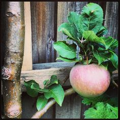 First harvest, apple 'Aroma' espalier. Happiness!