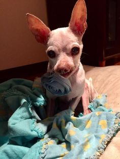 Meet Jasmine, an adoptable Chihuahua looking for a forever home. If you're looking for a new pet to adopt or want information on how to get involved with adoptable pets, Petfinder.com is a great resource.